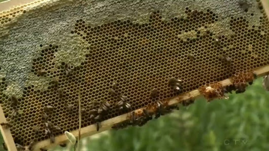Beekeepers on alert after hive-destroying beetle invades N.B.
