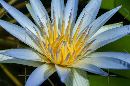 'Blue Water Lily' by SusanAdey