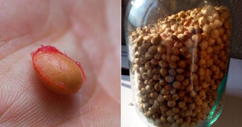 Косточки вишни: польза и вред для организма