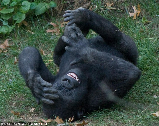 My, what white teeth you have: Kumi the gorilla has a fit of giggles in this image taken at the Bronx Zoo in New York