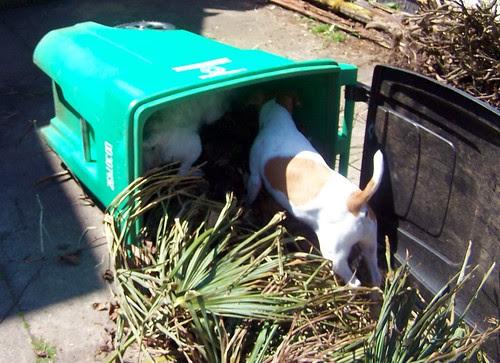 Lola and Jujube in the lawn debris tub