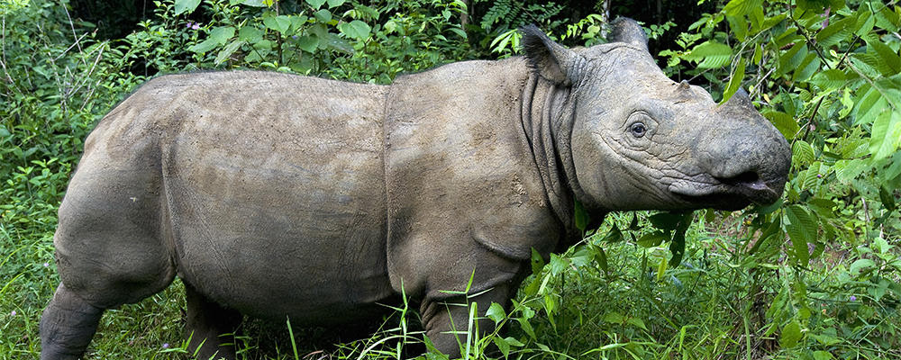 Image result for the sumatran rhino