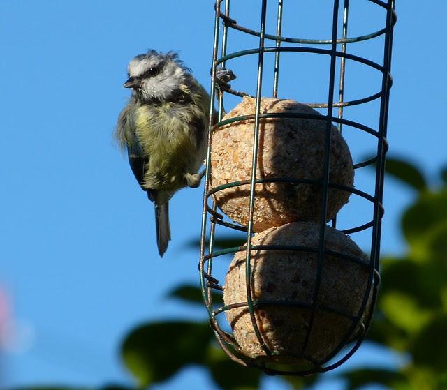 27654 - Blue Tit, Garden