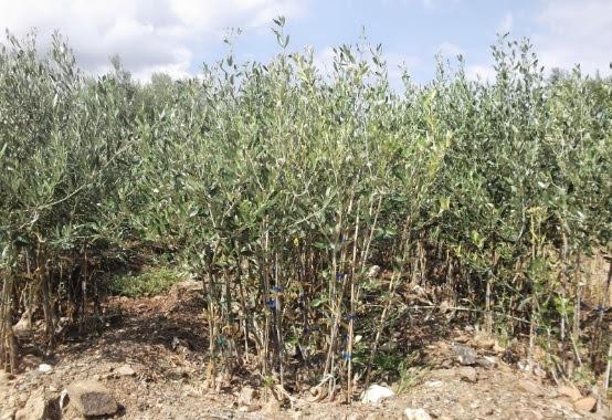 Στόχος του συνεταιρισμού των Λιβανάτων ο διπλασιασμός της παραγωγής ελιάς