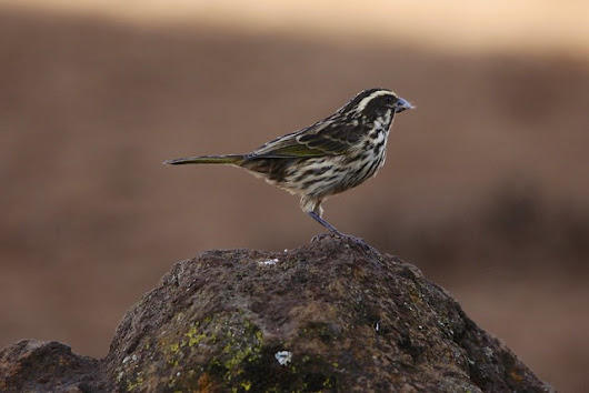 Streaky Seedeater / Fauna.me