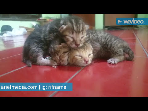 three must kitten di Sidoarjo