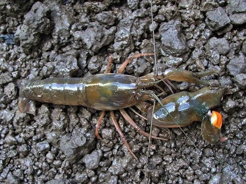 The Unreported Importance of Snapping Shrimps