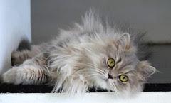 1 Lazy persian cat