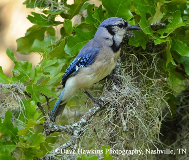 Tennessee Watchable Wildlife Blue Jay Habitat Forest