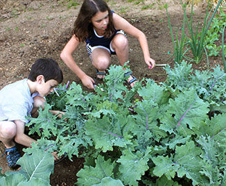children harvesting kale in the garden