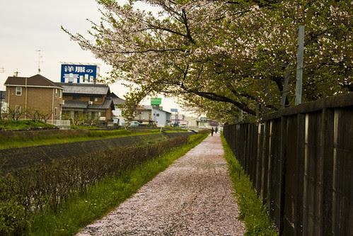 sayonara sakuras