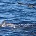Golfinho-pintado e Cagarro