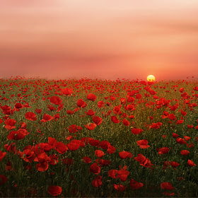 Poppies at Sunset by Albena Markova (AlbenaMarkova) on 500px.com