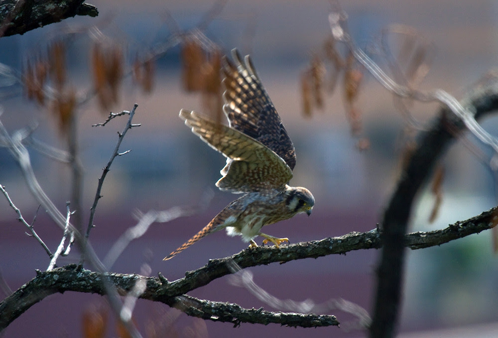 Female Kestrel Hunt