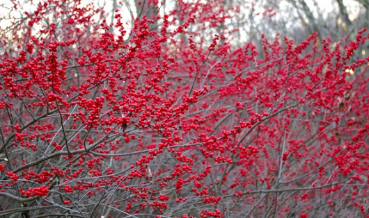 What are the Beautiful Red Berries on the Side of the Road? - Land Designs Unlimited LLC