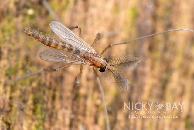 Midge (Chironomidae) - DSC_8888b