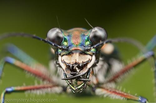 tiger beetle IMG_3426 stk copy