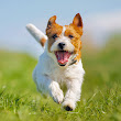 Picture of Jack Russell Terrier Running - Dog Photography
