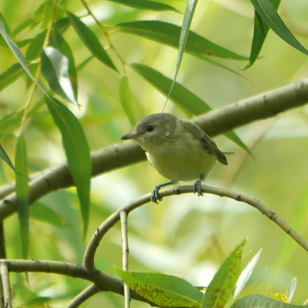 Ed Gaillard: birds &emdash; Warbling Vireo juvenile, Central Park