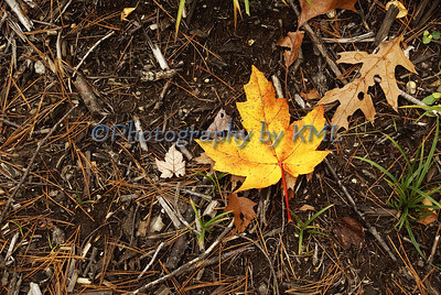 yellow maple leaf on the forest floor
