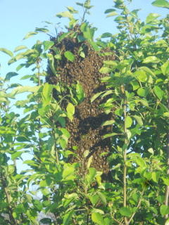 Bee Swarm Closer