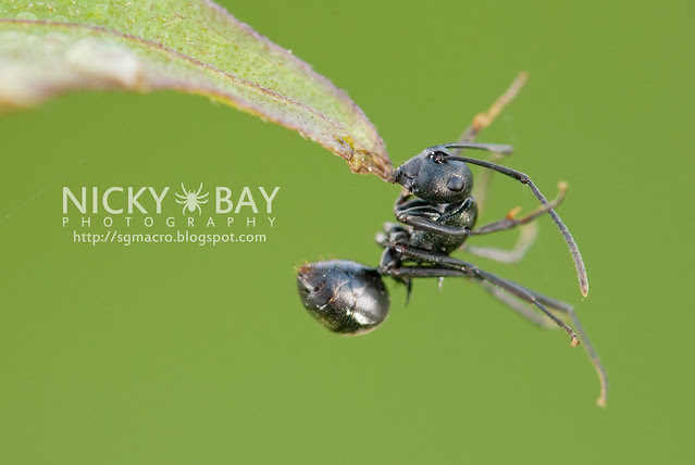 Ant (Formicidae) - DSC_6342