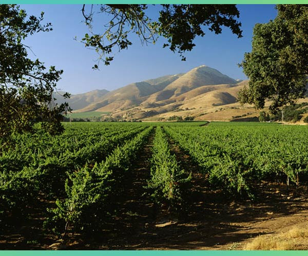 Qupe vineyard