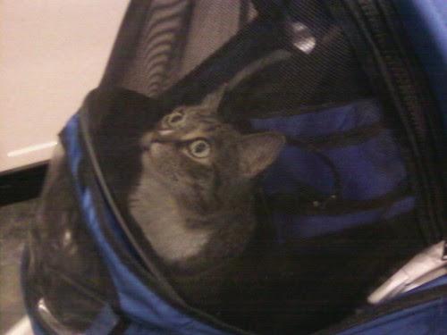 Mabel cat in her stroller