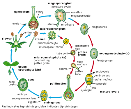 image69 Reproduksi Generatif pada Tumbuhan
