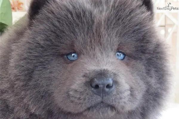 99+ Cute Chow Chow Puppy Black
