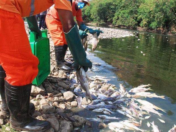 Prefeitura retira milhares de peixes mortos do leito do Rio Piracicaba. Cetesb informa que carcaças serão armazenadas em locais apropriados. Companhia afirma que baixa oxigenação pode gerar mais mortes de peixes. (Foto: Denny Cesare/Código19/Estadão Conteúdo)
