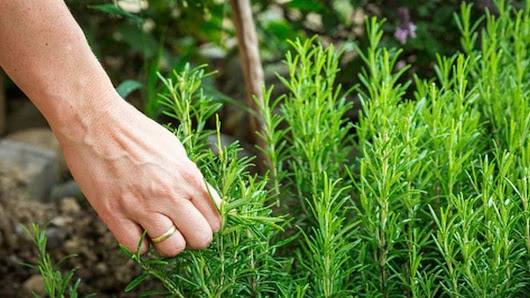 Exam revision students 'should smell rosemary for memory' - BBC News