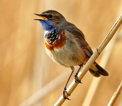 Τα ωδικά πτηνά κατανοούν την ανθρώπινη ομιλία;