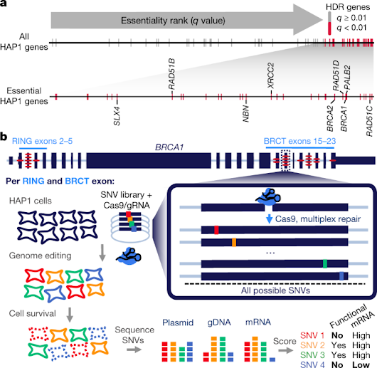 Accurate classification of BRCA1 variants with saturation genome editing | Nature