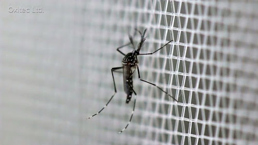 Fighting Zika in the US: The Battle Over GMO Mosquitoes - ABC News