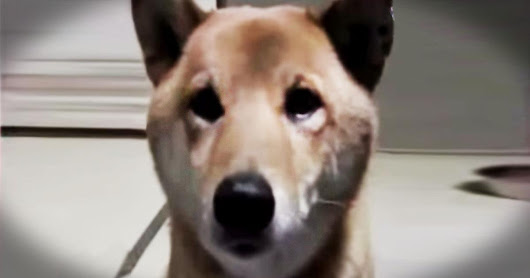 Smart Dog Barks Quieter When Asked - Cute Videos