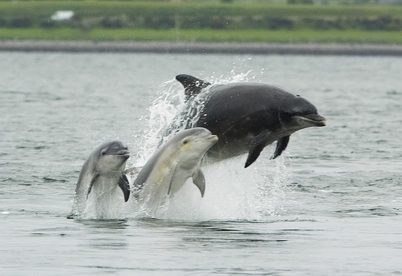 Berkas:Bottlenose dolphin with young.JPG