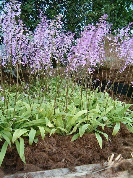 File:Stenoglottis longifolia OrchidsBln0906b.JPG