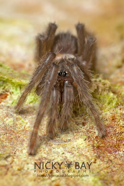 Baby Tarantula with mites (Theraphosidae) - DSC_0463