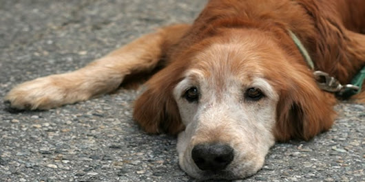 How to Care for Older Dogs