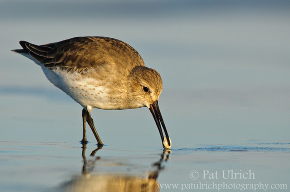 Dunlin pulling a clam from the sand