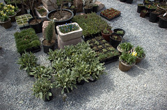Rock Garden Plants, Gowanus Nursery