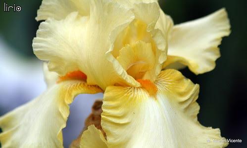 flores en mayo: lirio