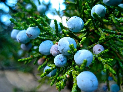 Smellyblog Aphrodisiac From The Forest Juniper Berries