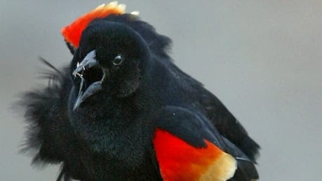 Angry red-winged blackbird attacks passersby on Parliament Hill