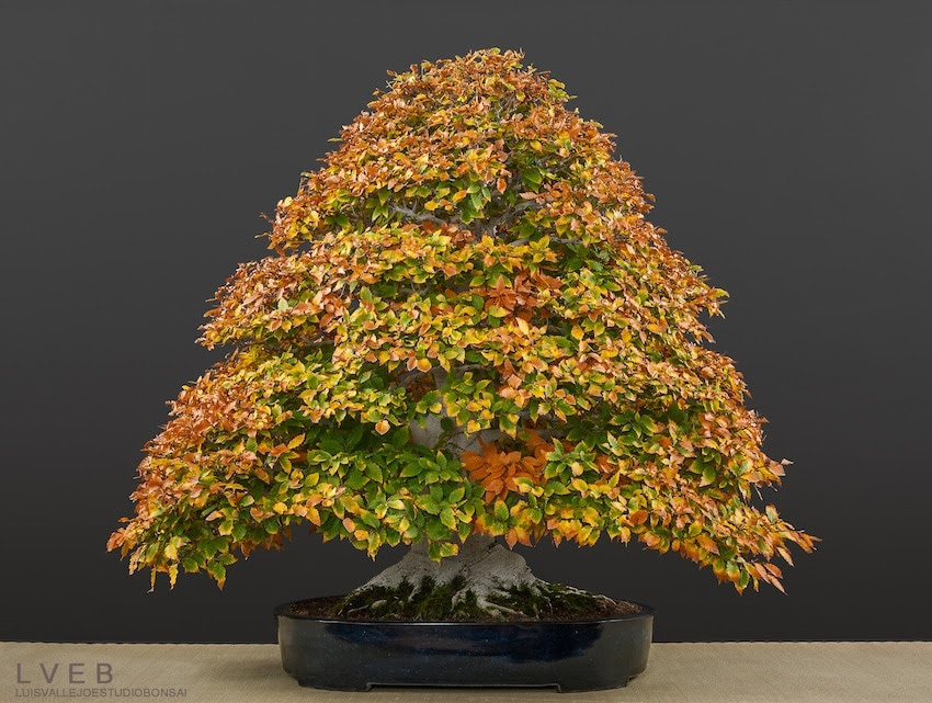 Fagus Crenata bonsai tree