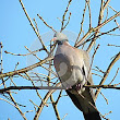 Wood Dove Stock Photo - Image: 47212982