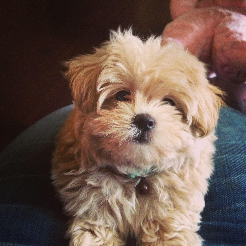Maltipoo puppy For Sale South Dakota USA