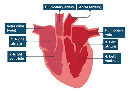 Heart Disease Bbc Bitesize - Cardiovascular Disease