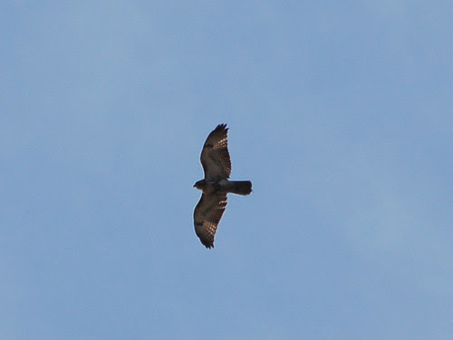 Washington Heights Red-Tail